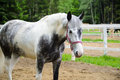 White horse in dapple grey. Royalty Free Stock Photo