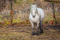 White horse dirty in field Royalty Free Stock Photo