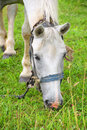 White horse eating grass close up Stock Photography