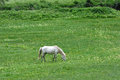 White horse eating grass in the highland of tibet Stock Images