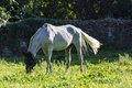 White horse eating grass in a meadow Royalty Free Stock Photo