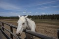 White horse in field high desert of central oregon near redmond Royalty Free Stock Photos