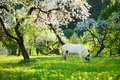 White horse grazing in beautiful old apple tree garden on sunny spring day Royalty Free Stock Photo