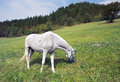 White horse grazing with gray spot in a field Stock Image