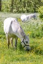 White horse on green pasture Royalty Free Stock Photo
