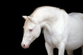 White horse isolated on black welsh pony portrait Royalty Free Stock Photography