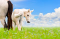 White horse mare and foal on sky background looking with suspicion blue Royalty Free Stock Photo