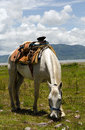 White horse with mexican saddle grazing in halter stirrups lifted so can graze Stock Photos