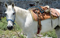 White horse with mexican saddle in halter stirrups lifted so can graze Stock Photo