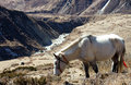White horse in the mountains of nepal Stock Photos