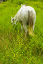 White horse nibble on grassland back side thailand Stock Photos