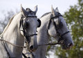 White horse pair Stock Photos