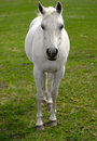 White Horse in Pasture Royalty Free Stock Images