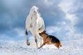 White horse play with german shepherd Royalty Free Stock Photo