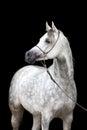 White horse portrait on black background arabian Royalty Free Stock Photo