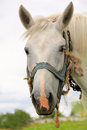 White horse portrait of a cute with the old bridle Royalty Free Stock Photography