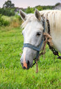 White horse portrait of with the old bridle Royalty Free Stock Photo