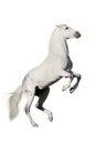 White horse rearing up Royalty Free Stock Photo