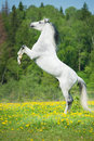 White Horse Rearing Up On The ...