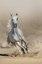White  horse run Royalty Free Stock Photo