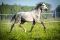 White horse runs trot on the meadow Stock Photo