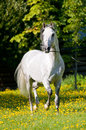White horse runs trot in summer Royalty Free Stock Images