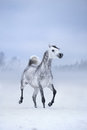 White horse runs on windy winter background arabian Royalty Free Stock Images