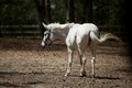 White horse side view of stood in field or paddock Royalty Free Stock Photo