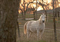 White horse standing in a pasture Royalty Free Stock Image
