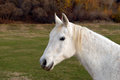 White horse standing in a pasture looking at the viewer Royalty Free Stock Photography