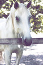White horse stands in the corral amazing Royalty Free Stock Images