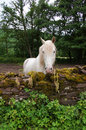 White horse in wales looking over wall near llanthony priory brecon beacons national park great britain Royalty Free Stock Photo