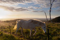 White horse walking on the hill in the sunset australia Royalty Free Stock Photo