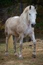 White Horse Walking Toward Camera Full Body Royalty Free Stock Photo