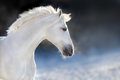 White horse in winter day Royalty Free Stock Photo