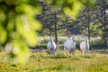 White horses in flower meadow near arsdale on bornholm denmark Stock Photography