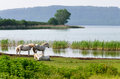 White horses on lake vico a view of in italy with three specimens of Royalty Free Stock Photo