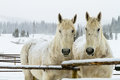 White Horses in the Snow Royalty Free Stock Images