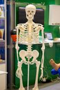 White human skeleton dummy Royalty Free Stock Photo