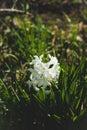 White hyacinth in the garden