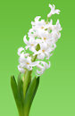 White hyacinth on green background Stock Photography