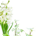 White hyacinth and ivy covered with melting snow on white backgr Stock Images