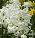 White hyacinths with green leaves Royalty Free Stock Images