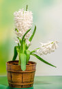 White hyacinthus orientalis flower common hyacinth garden hyacinth or dutch hyacinth in a brown rustic vintage pot close up green Royalty Free Stock Images