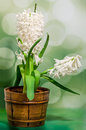 White hyacinthus orientalis flower common hyacinth garden hyacinth or dutch hyacinth in a brown rustic vintage pot close up green Stock Photo