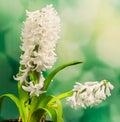 White hyacinthus orientalis flower common hyacinth garden hyacinth or dutch hyacinth close up green bokeh gradient background Stock Photos