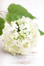 White hydrangea flower on a wooden vintage background Stock Photos