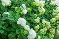 White Hydrangea flowers are blooming in spring and summer in tow Royalty Free Stock Photo