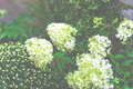 White hydrangea flowers bush in the garden Royalty Free Stock Photo