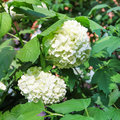 White hydrangea flowers Royalty Free Stock Photo